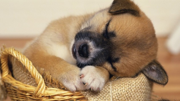 sleeping-puppy-04