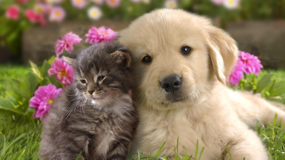 cute-golden-retriever-wallpapercute-cat-and-dog-wallpaper-1goipbus